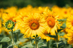 Bright yellow bloomng sunflower in sunny summer day Stock Photography