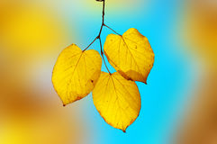 Bright yellow-blue elegy. shallow dof. Bright yellow-blue elegy: sharp yellow leaves on branch highlighted by sun. shallow dof Royalty Free Stock Image