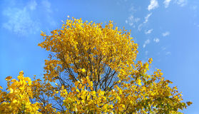 Bright yellow branches of autumn tree on blue sky Stock Photos