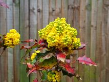 Bright yellow buds and red leaves on a holly bush. Bright yellow buds and colourful red leaves on a holly bush growing against a wooden fence in a garden royalty free stock photo