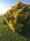 Bright yellow bush Stock Photo