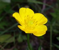 Bright yellow buttercup in meadow royalty free stock photos