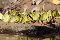 Bright yellow butterflies drinking water Royalty Free Stock Photos