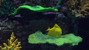 Bright yellow butterfly fish floating under water against coral. 4K video. Clip stock footage