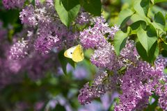 Bright yellow butterfly on lilac flowers. common brimstone stock photo