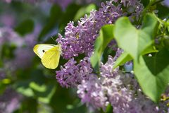 Bright yellow butterfly on lilac flowers. common brimstone royalty free stock images