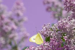Bright yellow butterfly on lilac flowers. common brimstone. royalty free stock photos