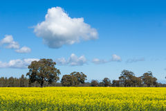 A Bright Yellow Canola Field with Trees in the Background. A bright yellow sun drenched Canoloa Crop with trees in the background and clouds in the sky Royalty Free Stock Photo