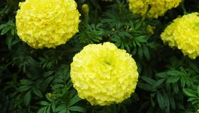 Bright yellow carnations surrounded by green foliage. Some buds can  be seen Royalty Free Stock Photography