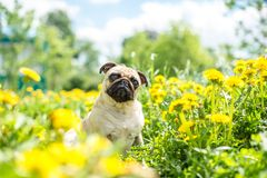 Bright yellow carpet of dandelions on the pug stock image