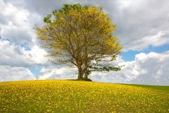 Bright yellow carpet of flowers of the poui tree in Jamaica Stock Photos