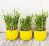 Bright yellow ceramic cups with young sprouts of Stock Photos
