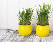 Bright yellow ceramic cups with young sprouts of Stock Image