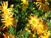 Bright-yellow chrusanthemums. Royalty Free Stock Image