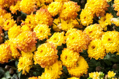Bright yellow chrysanthemums Stock Images