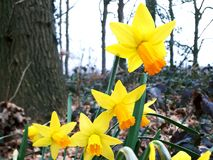 Bright yellow daffodils on a rainy day stock image