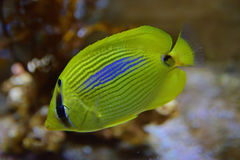 A bright yellow colour Blue spot butterflyfish with all fins clamped Royalty Free Stock Images