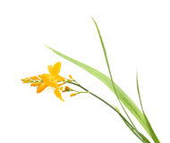 Bright yellow crocosmia Stock Images