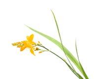 Free Bright Yellow Crocosmia Stock Images - 15857034