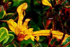 Bright yellow Croton in rain stock images