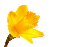 Bright yellow daffodil Royalty Free Stock Photos