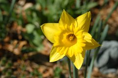 Bright Yellow Daffodil Royalty Free Stock Photo