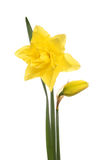 Bright yellow daffodil Royalty Free Stock Images