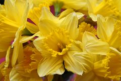 Bright Yellow Daffodils. Bright yellow Spring Macro daffodils Stock Images