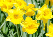 Bright yellow daffodils on green background Royalty Free Stock Photo