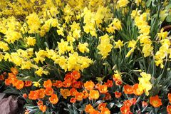 Bright yellow Daffodils and orange Tulips. Spring flowers displayed in a garden in natural sunlight. Orange tulips with a yellow center Stock Photo