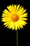 Bright yellow daisy Stock Image
