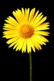 Bright yellow daisy Stock Image