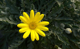 Bright Yellow Daisy with Dark Green Leaves Stock Photography