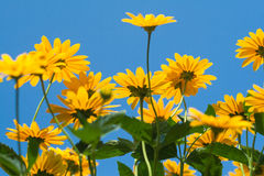 Bright yellow daisy flower on blue sky background Royalty Free Stock Photo