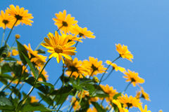 Bright yellow daisy flower on blue sky background Stock Image