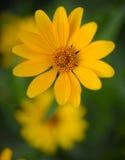 Bright Yellow Daisy Flower Stock Image