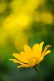 Bright Yellow Daisy Flower Royalty Free Stock Photo