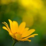Bright Yellow Daisy Flower Stock Photo