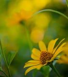 Bright Yellow Daisy Flower Royalty Free Stock Photography