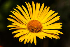 Bright yellow daisy flower isolated on dark background Stock Photography