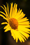 Bright yellow daisy flower isolated on dark background Royalty Free Stock Photography