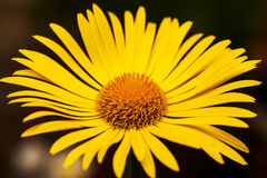 Bright yellow daisy flower isolated on dark background Royalty Free Stock Photos