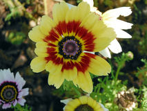 Bright Yellow Daisy Flower Royalty Free Stock Images