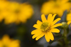 Bright Yellow Daisy on a green Background Royalty Free Stock Image