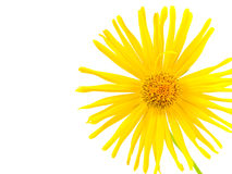 Bright Yellow Daisy Isolated Royalty Free Stock Photo