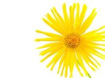 Bright Yellow Daisy Isolated Royalty Free Stock Photo