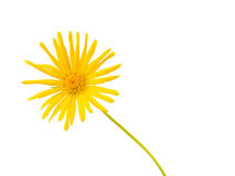 Bright Yellow Daisy Isolated Royalty Free Stock Photos
