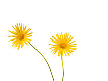 Bright Yellow Daisy Isolated Stock Images
