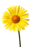Bright yellow daisy on white Royalty Free Stock Photo