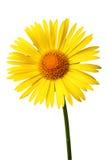 Bright yellow daisy on white Royalty Free Stock Photo